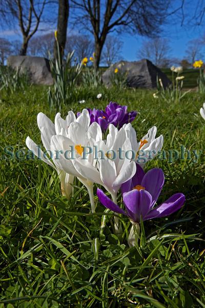 Crocuses Cambridge Park St Peter Port 080313 ©RLLord 5715 smg