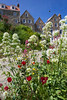 Wildflowers in St Peter Port, Guernsey