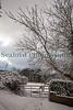 Guernsey heffer Montville ©RLLord 020209 1064 smg