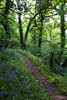Bluebell path Icart 170510 ©RLLord 9451 smg