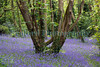 Petit Bot Valley bluebells 070509 ©RLLord 3713 smg