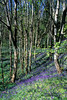 bluebell wood on Guernsey's east coast.<br /> Photographed on 23 April 2004<br /> File No. 8-732<br /> ©RLLord<br /> fishinfo@guernsey.net