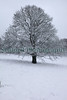 Snow covered tree by Val des Terres, St Peter Port on 11 March 2013