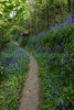 Bluebell path Icart 170510 ©RLLord 9452 smg