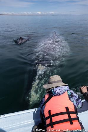 Guerrero Negro Whale Nursing