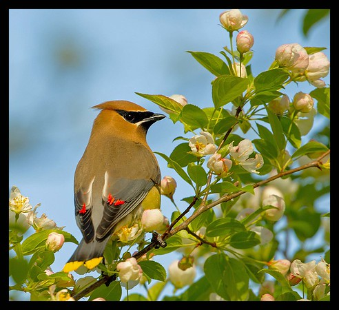 Cape Cod Beautiful Ceader Waxwing