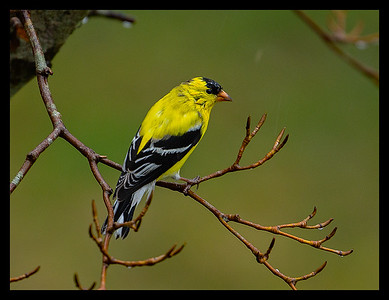Goldfinch one of our many beautiful Cape Cod song birds