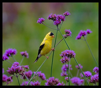 Summer time Goldfinch!!