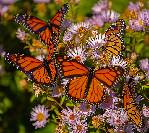 Beautiful Monarch Butterflies on a sunny spring day   Soon!