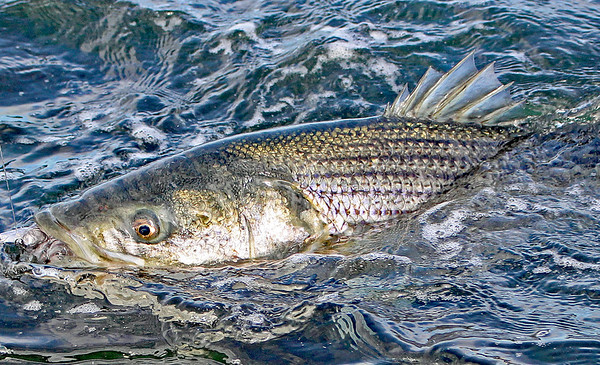 The Almighty Striped Bass!   JD