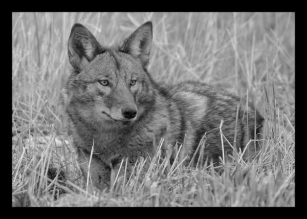 Coyote enjoying the early morning