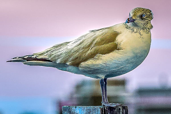 Canal Gull with a Twist