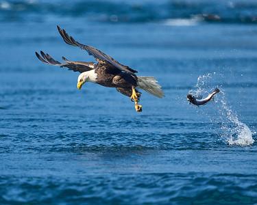 Bald Eagle Drops its hake