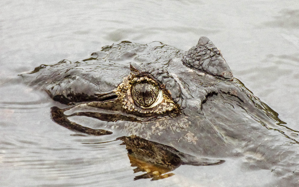 The intense eyes of a caiman in the Pantanal in Brazil