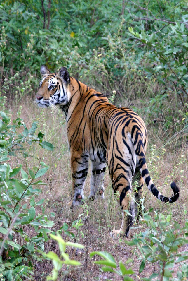 Royal Bengal Tigers in India