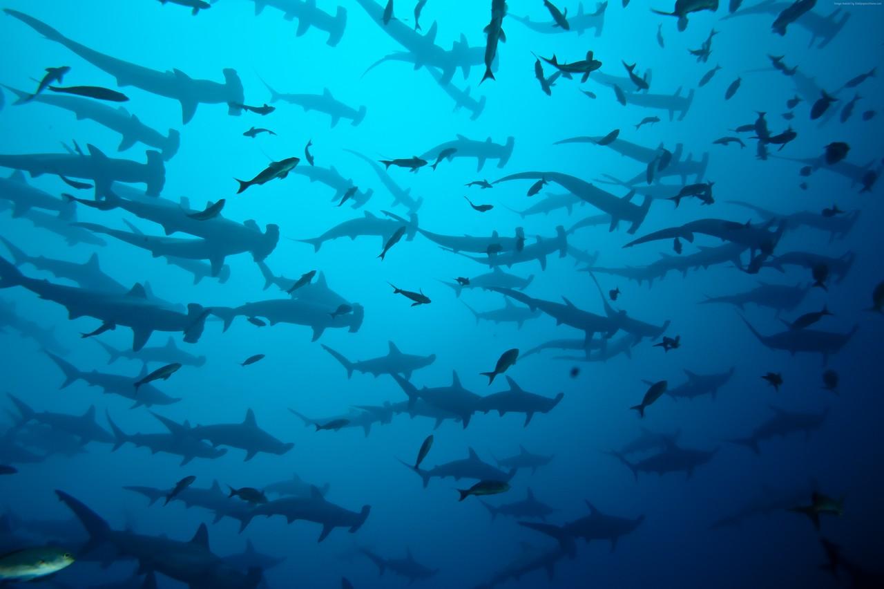 hammerhead sharks, diving sabah