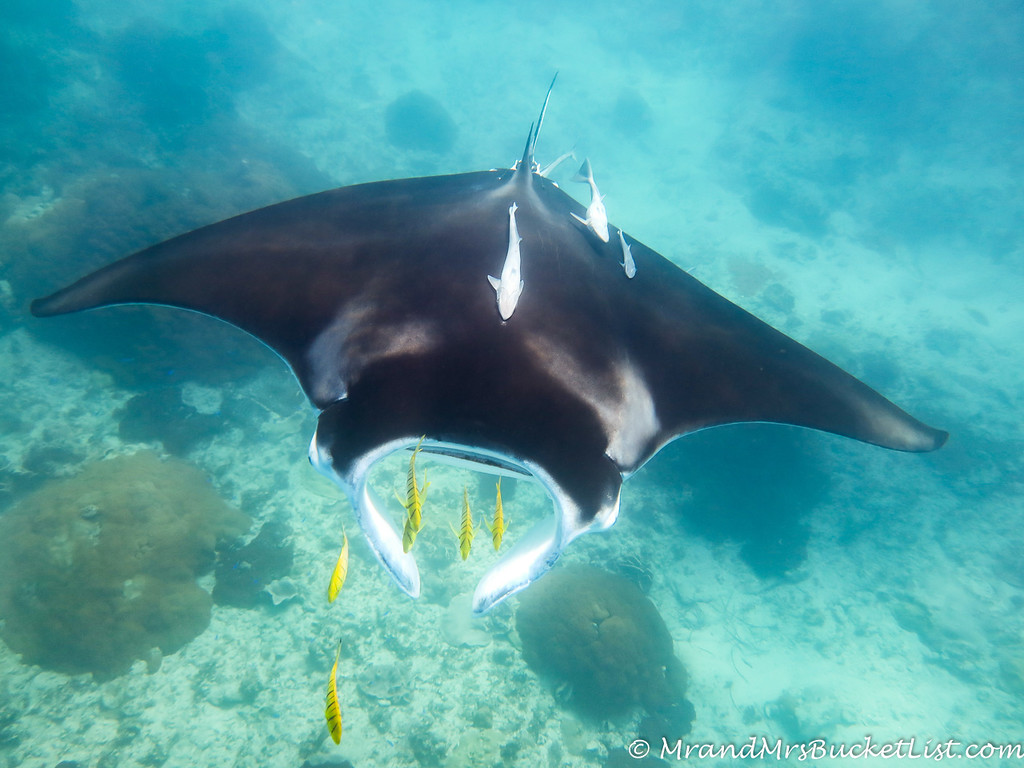 wildlife encounters in Western Australia - manta rays