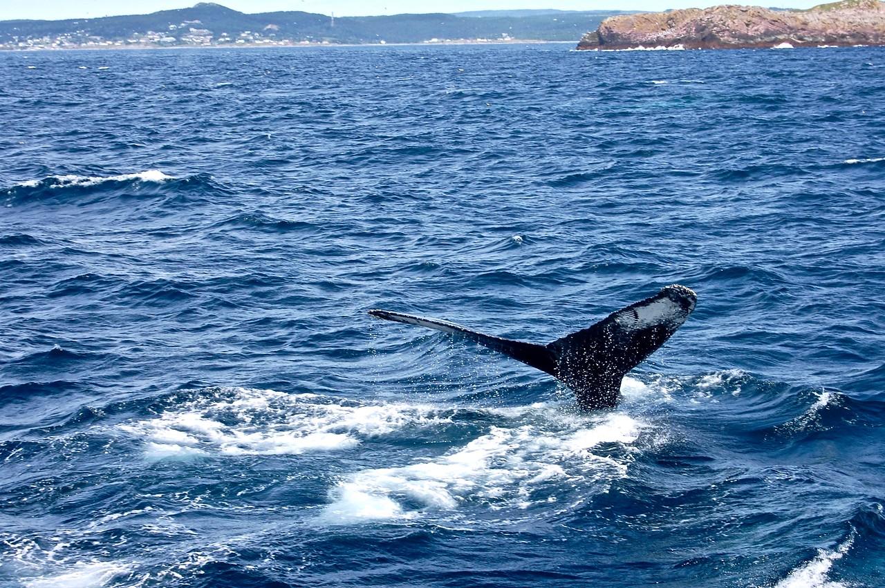 Whale Watching Newfoundland