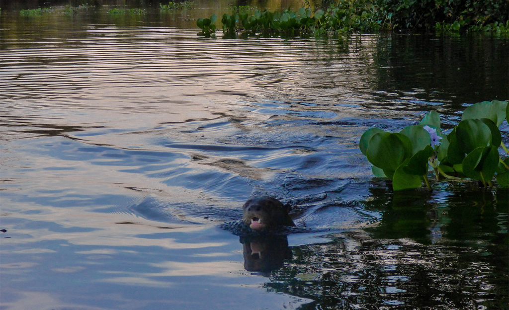 Otters also live in the Pantanal in Brazil