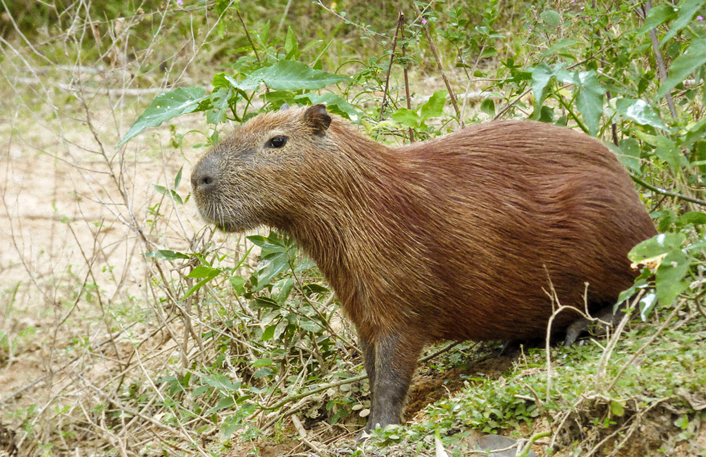 spotting a capybara while paddling through the Pantanal in Brazil