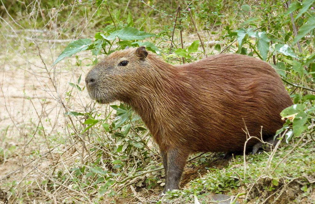 spotting a capybara while paddling through the Pantanal in Brazil
