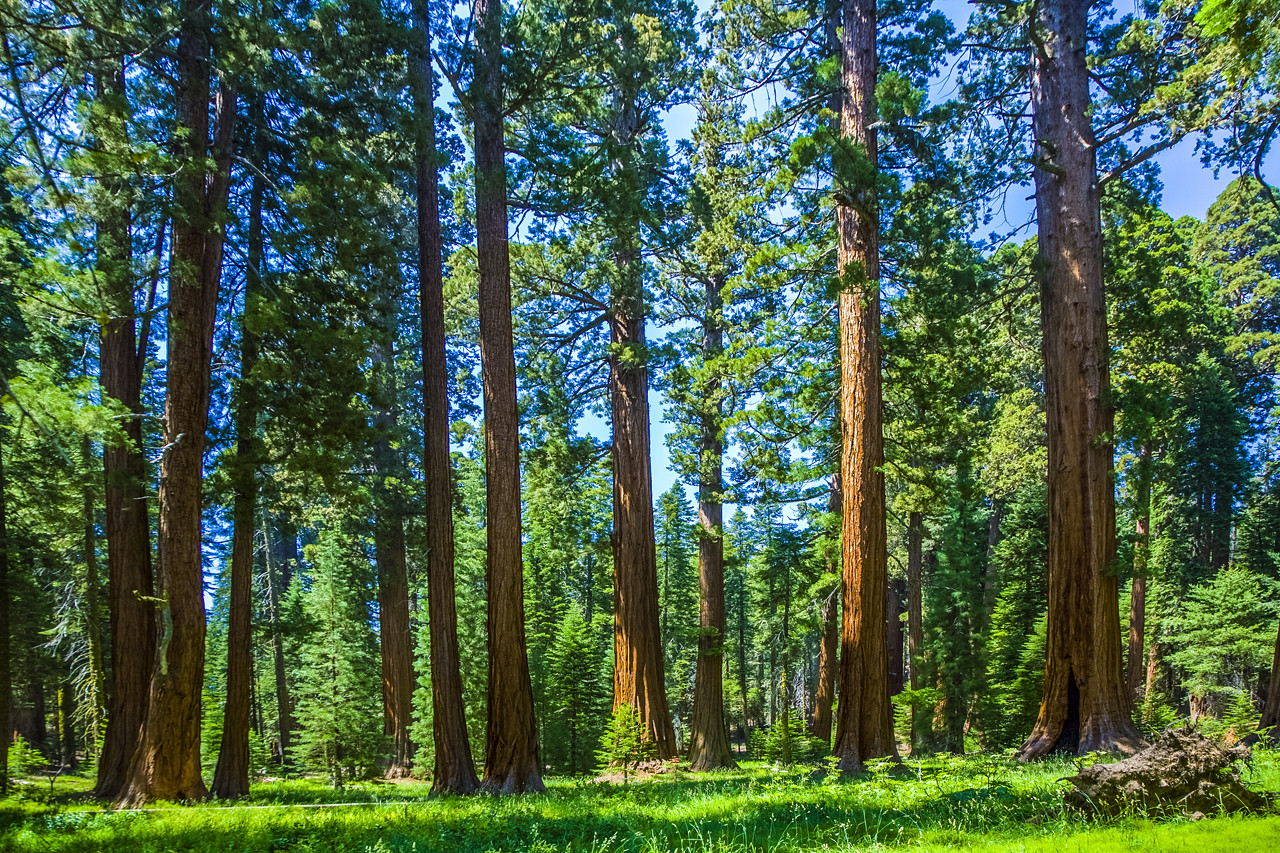 the famous big sequoia trees are standing in Sequoia National Park, Giant village area