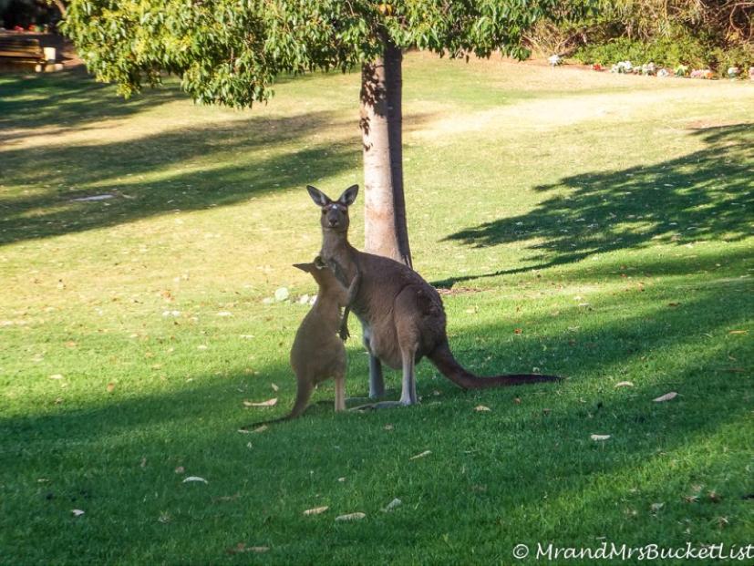 kangaroo western australia wildlife