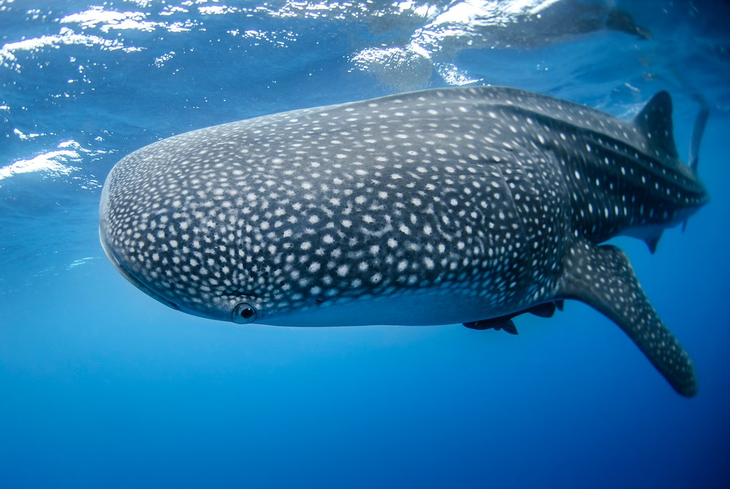 Swimming with Whale Sharks in Isla Holbox