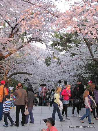 Cherry Blossom Festival - South Korea