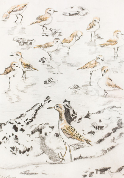 Sandpiper and plovers at Sungei Buloh, Singapore<br /> (from photos by David Moran)