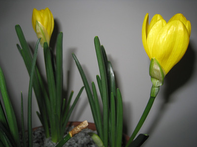 Margarets Sternbergia lutea ssp angustifolia in a pot in Ontario, canada
