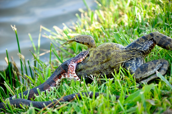 Mud Snake Eating and Swimmimg with Frog