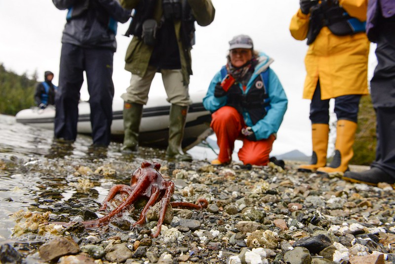 Yes, this octopus was walking across the land. Taken in Haida Gwaii by Tavish Campbell.