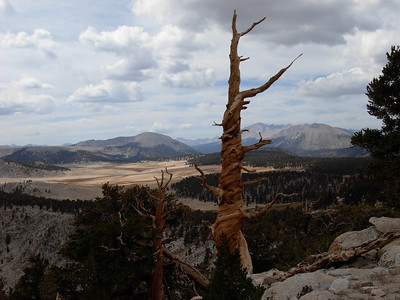 An ancient tree in the Golden Trout Wilderness
