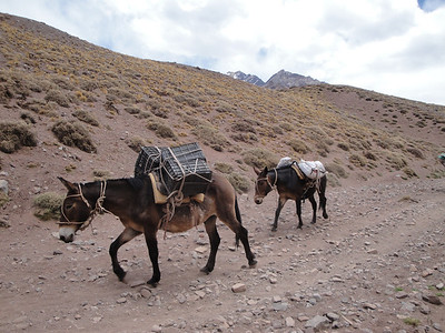 Mules do all the hard work to base camp