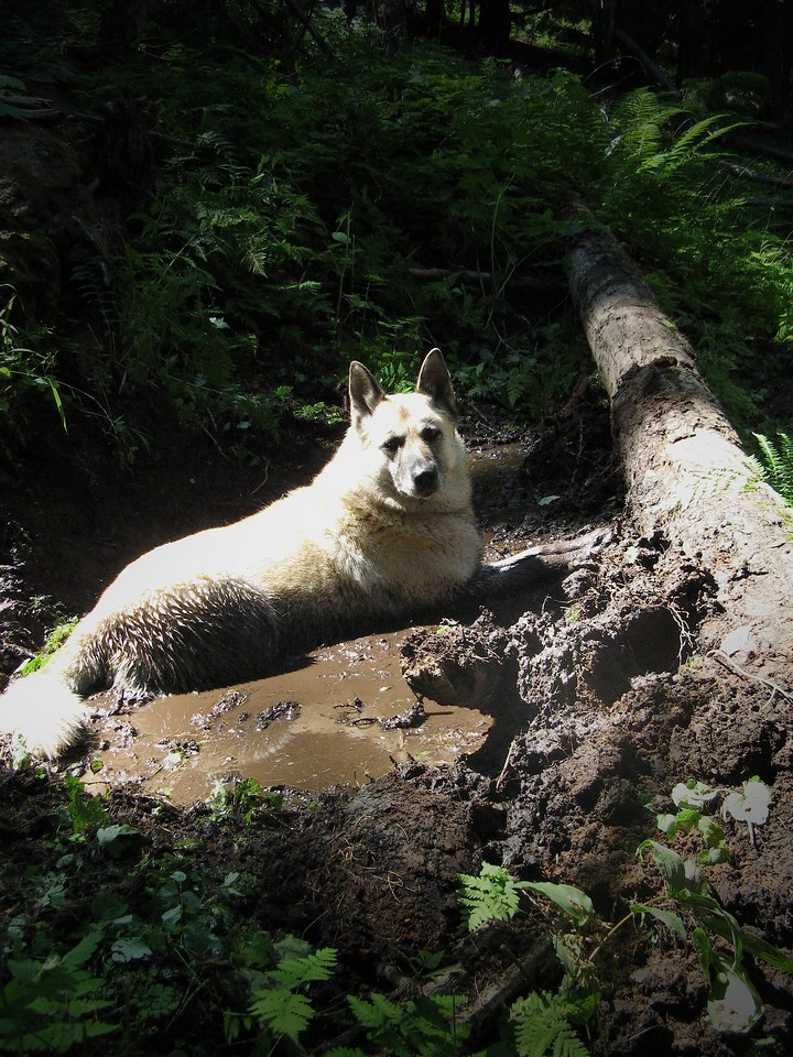 Shelby cooling off in the elk wallow