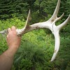 Nice White tail antler off a winter kill