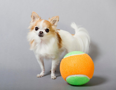 The smallest service dog is Cupcake, a female long-haired chihuahua, who measured 15.87 (6.25 in) tall, on 08 September 2012. She is owned by Angela Bain (USA) of Moorestown, New Jersey, USA.   All rights reserved Guinness World Records