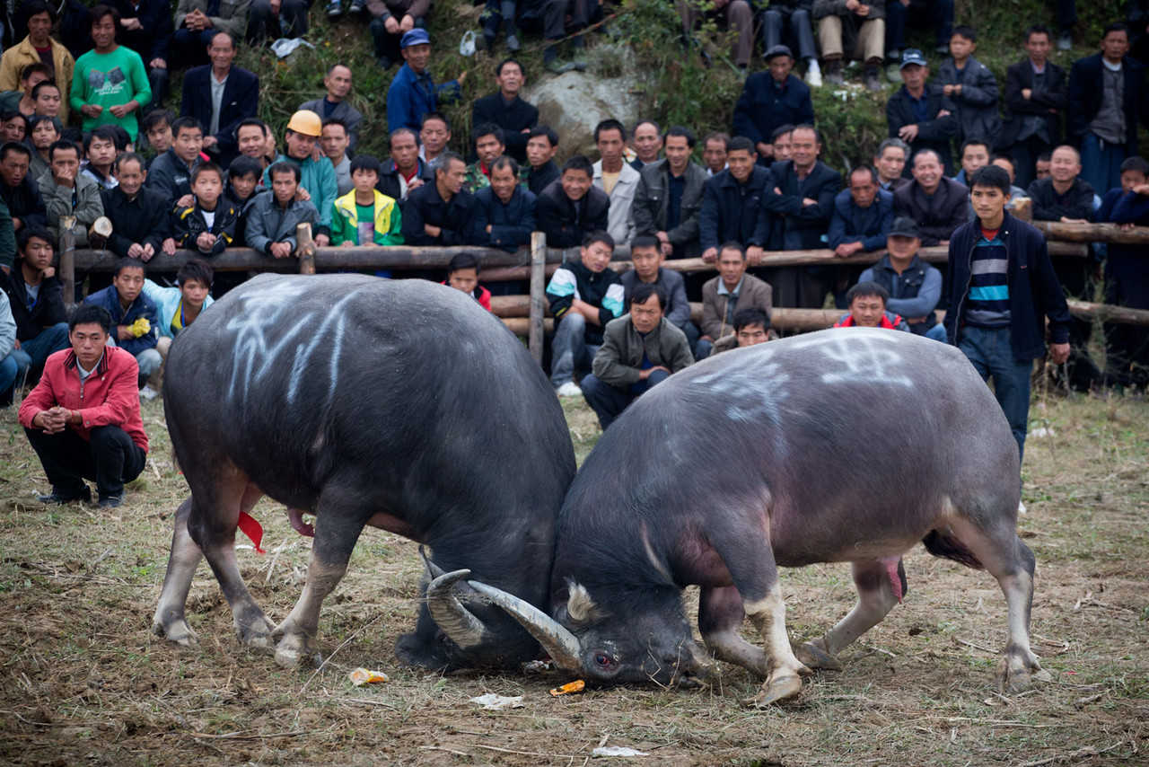 Bullfighting. Kaitang, not far from Kaili.