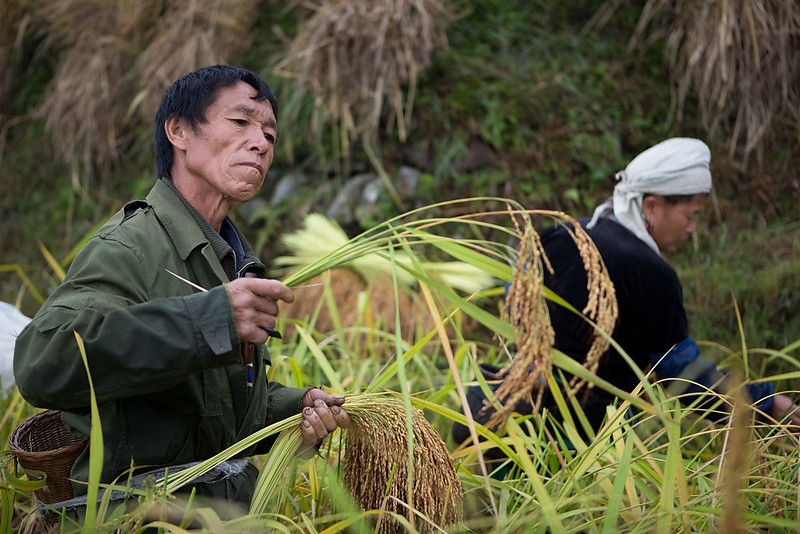Rice harvesting. Dangniu, Chongjiang.