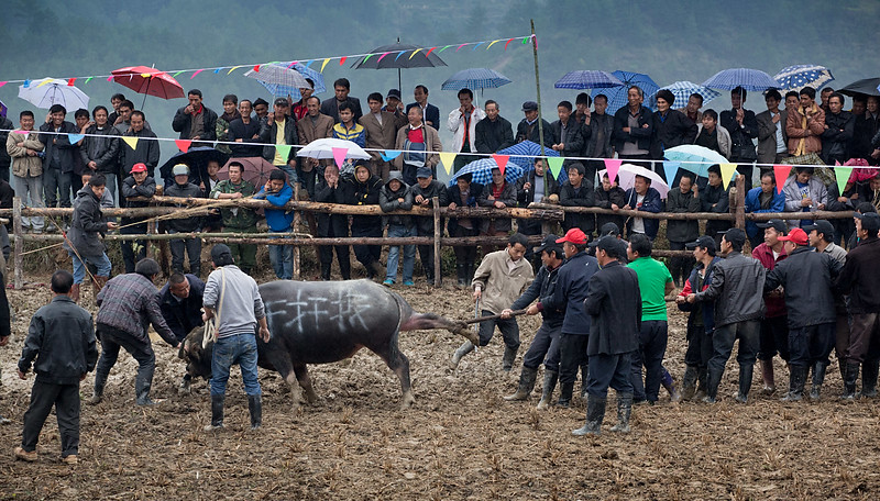 Bullfighting. Kaitang, not far from Kaili.