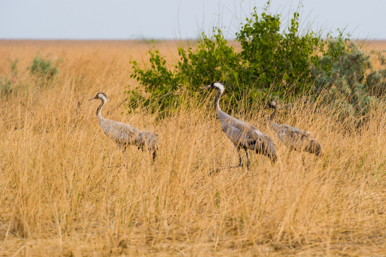 Common Crane (family)