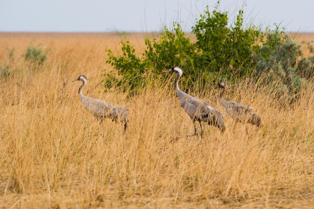 Common Crane (family)