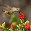 Ruby-throated Hummingbird male feeding on Turks Cap at GCBO on 092612.