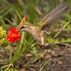 Ruby-throated Hummingbird drinking from a Turk's Cap.
