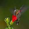 Ruby-throated Hummingbird.  Came to within 6 feet of the lens.  Caused a real DofF problem - F5.6 and 600mm based on 35mm..