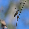 Gulf Coast Bird Observatory, Ruby-throated Hummingbirds