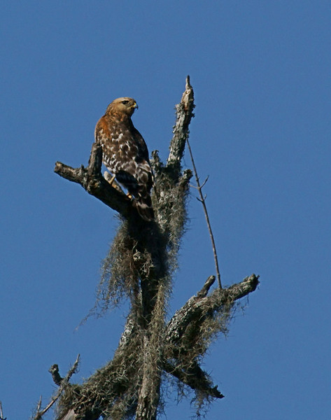 Read Shouldered Hawk