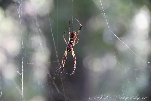 This is an orchard spider. They are very common here on the Gulf Coast. They look wicked but are not poisonous. Like most spiders, though, they can bite you if you are unfortunate enough to walk into their web.