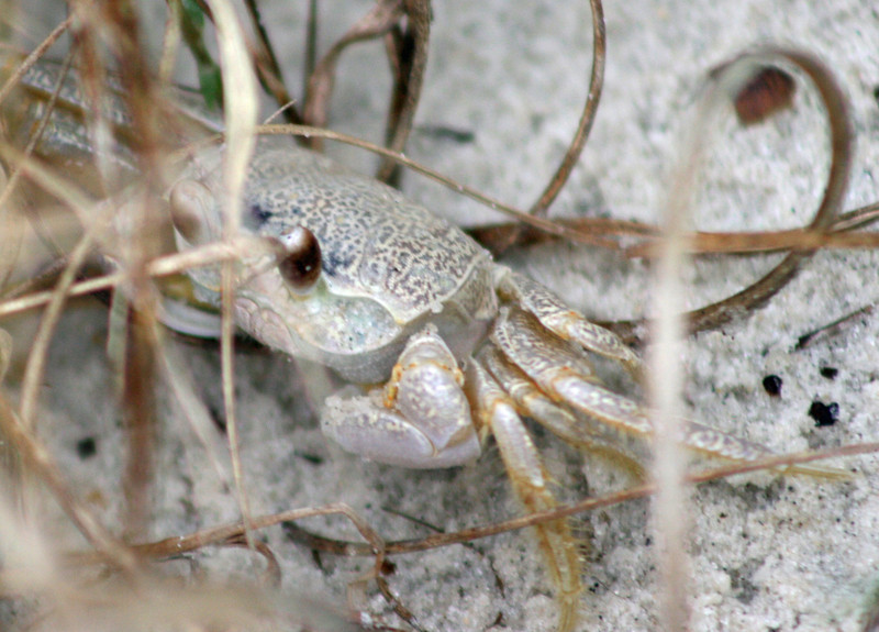 A sand crab on Dauphin Island, AL. The crab was about the size of a saltine cracker.